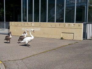 cygnes au collège.jpg